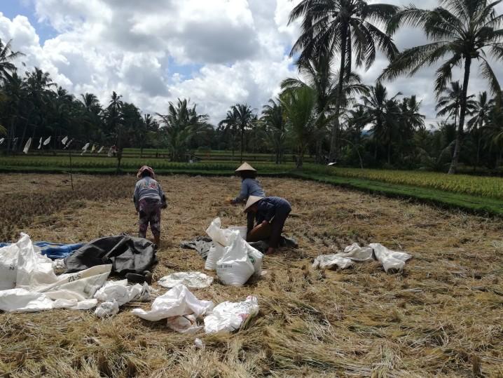Bali rice terrace Ubud